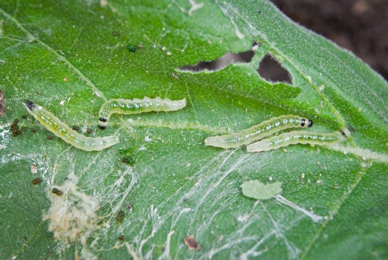 Parasites de Caterpillar image stock
