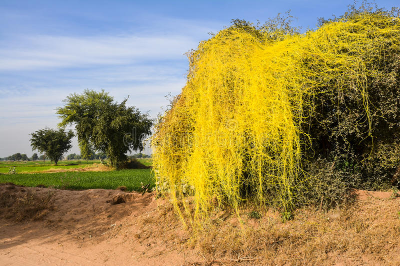 Parasitic Dodder on a tree. Dodder is a very aggressive parasitic plant that has the potential of severely altering the composition and function of riparian royalty free stock image