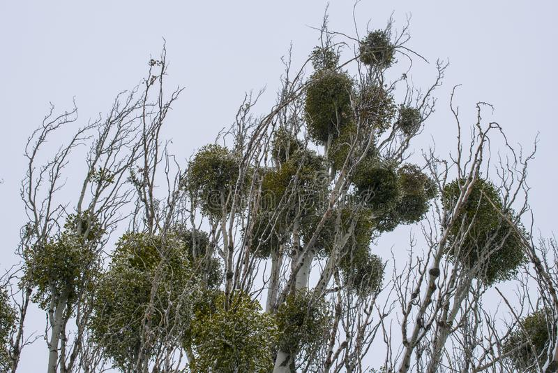 Parasitic European mistletoe on a tree branches stock photos