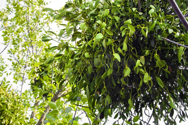Parasitic European mistletoe or common mistletoe Viscum album on a tree. Toung plant of parasitic European mistletoe or common mistletoe Viscum album growing on stock photography