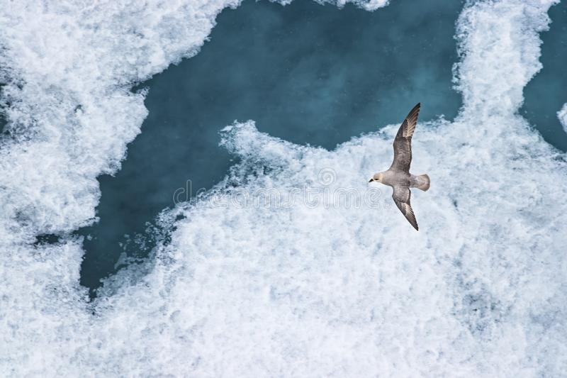 A Parasitic jaeger - Arctic Skua (Stercorarius parasiticus) flying over the ice in the Arctic Ocean stock photography