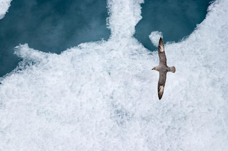 A Parasitic jaeger - Arctic Skua (Stercorarius parasiticus) flying over the ice in the Arctic Ocean royalty free stock photos