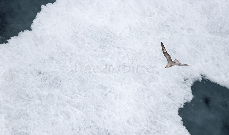 A Parasitic jaeger - Arctic Skua (Stercorarius parasiticus) flying over the ice in the Arctic Ocean royalty free stock photography