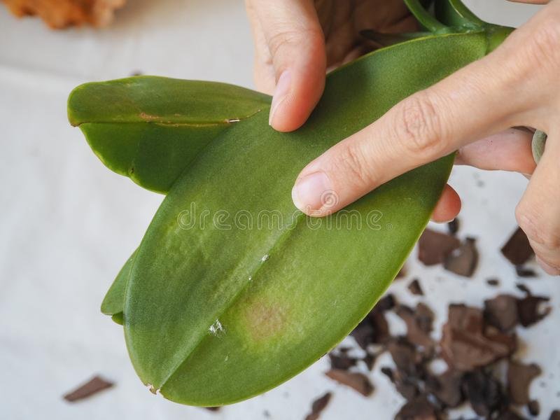 Parasitic mealybug on leaves of orchids. Parasites on plants. Diseases of plants. Parasites on plants. Diseases of plants stock images
