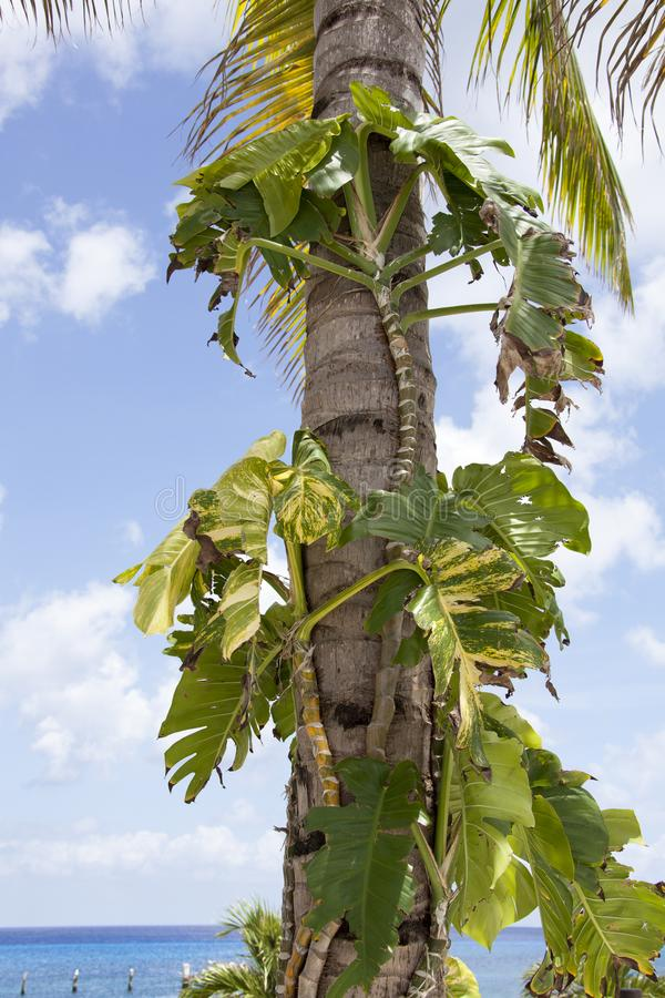 Parasitic Plant in Mexico. The parasitic plant growing on a palm tree on Cozumel island Mexico stock photography
