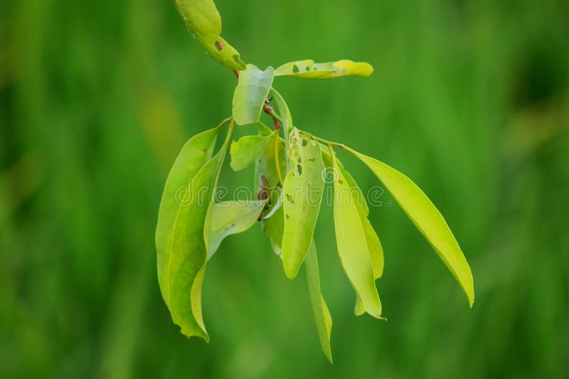 Loranthus is a genus of parasitic plants that grow on the branches of woody trees stock images