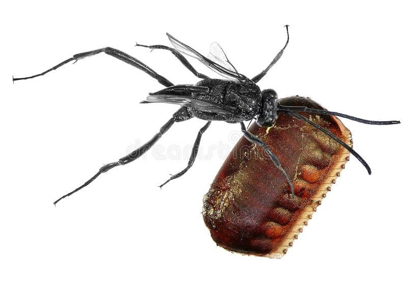 Parasitic wasp arkivbild