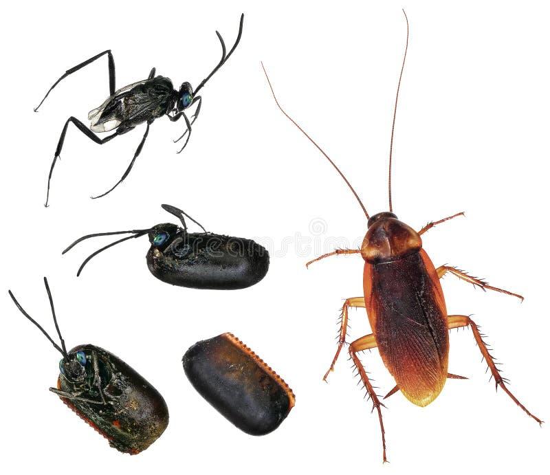 Parasitic wasp royaltyfri foto