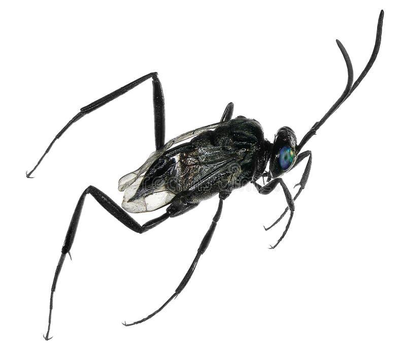 Parasitic wasp royaltyfri bild