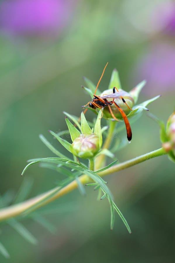 Parasitic wasp royaltyfri fotografi