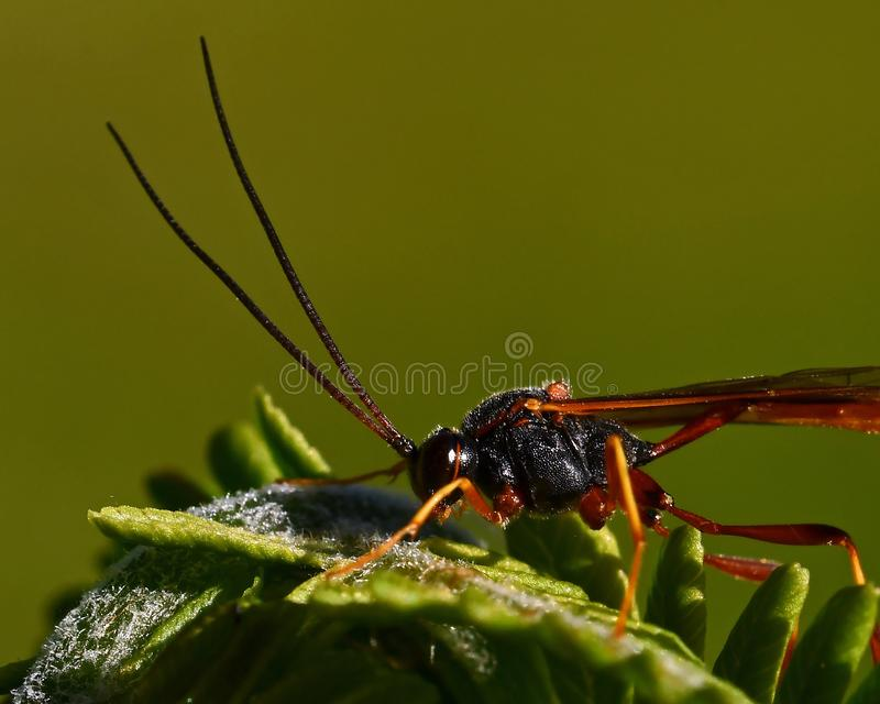Parasitic wasp Ichneumonidae. In close-up on a green leaf in Sweden stock image