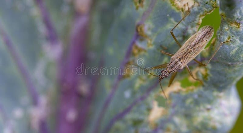 Parasitica kryp, en naturlig fiende av bladlöss royaltyfri fotografi