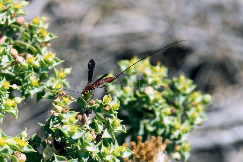 Parasitische wespen op bloem in zonneschijn stock afbeeldingen