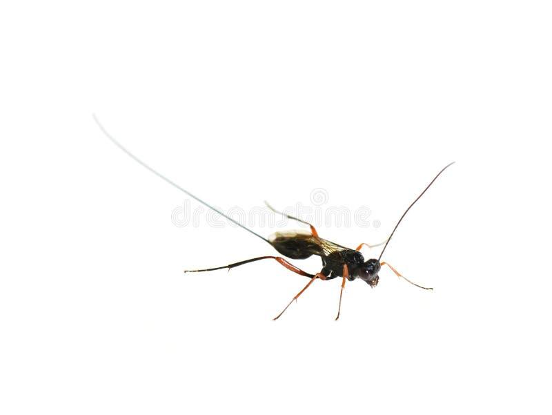 Parasitisk getingStenarella domator arkivfoto