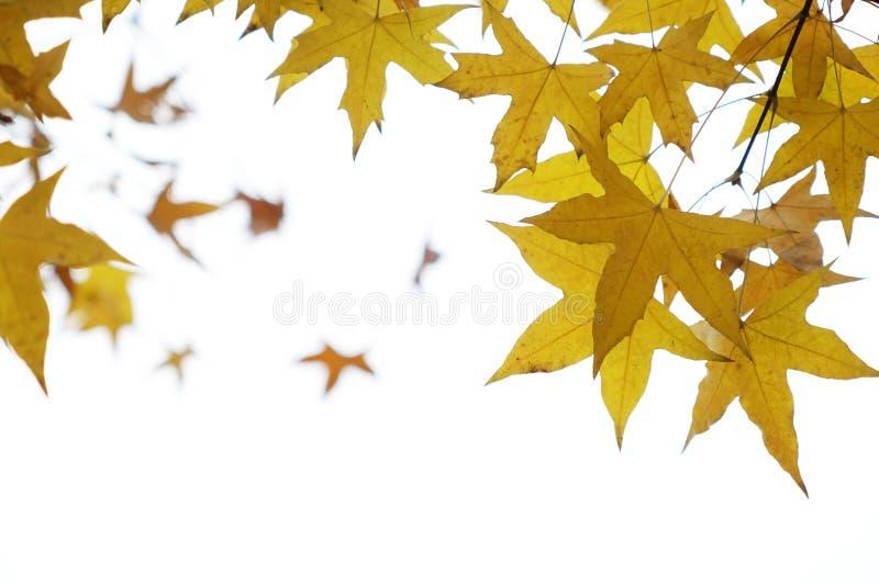 Parasol drzewa liście zdjęcie stock