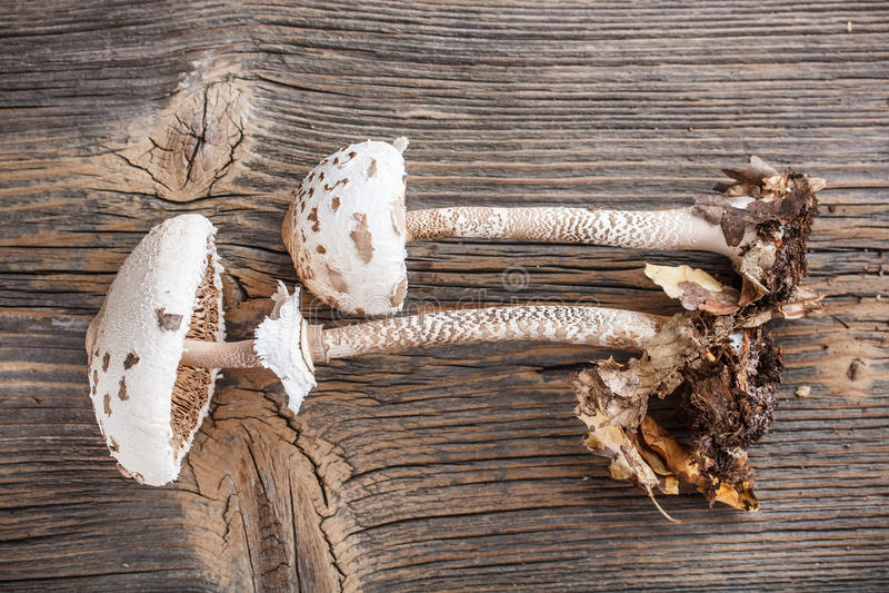 Parasol mushroom royalty free stock images