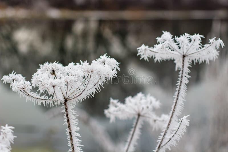 Parasolowe rośliny w naturze zakrywającej z spiny mrozem obraz stock