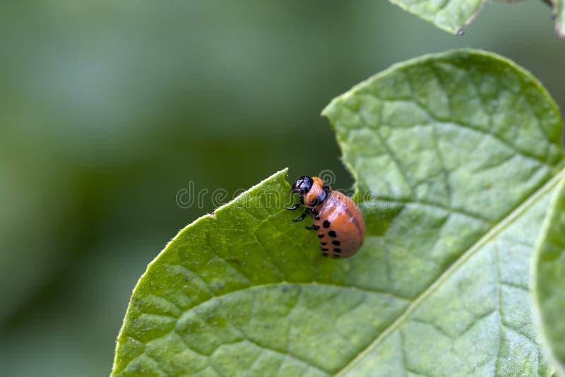 Parassita dello scarabeo fotografia stock libera da diritti