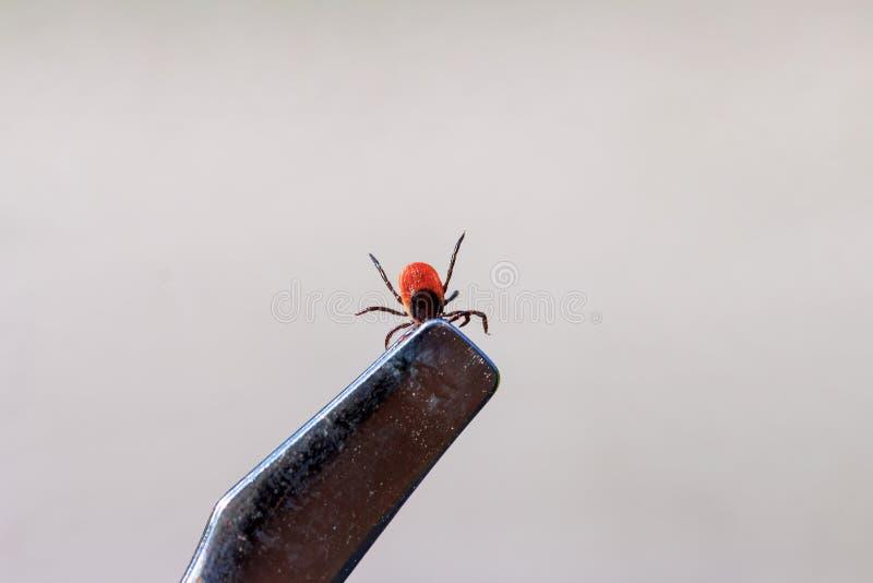 Parassita tossico dell'insetto dell'acaro che si alimenta sangue dell'essere umano e degli animali fotografia stock libera da diritti