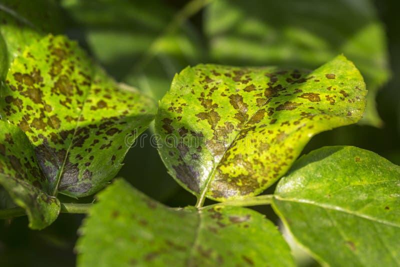 Parassiti, malattie delle piante La foglia macchia il primo piano La maggior parte della foglia s fotografia stock libera da diritti
