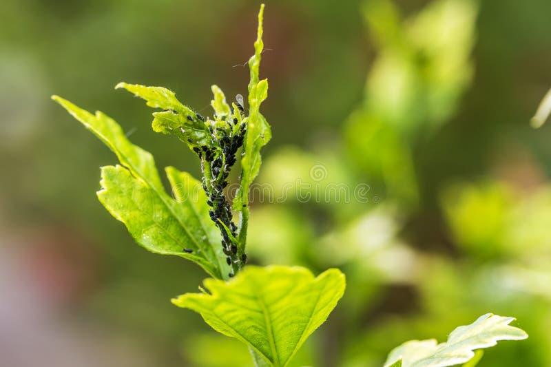 Parassiti, malattie delle piante Primo piano dell'afide su una pianta fotografie stock