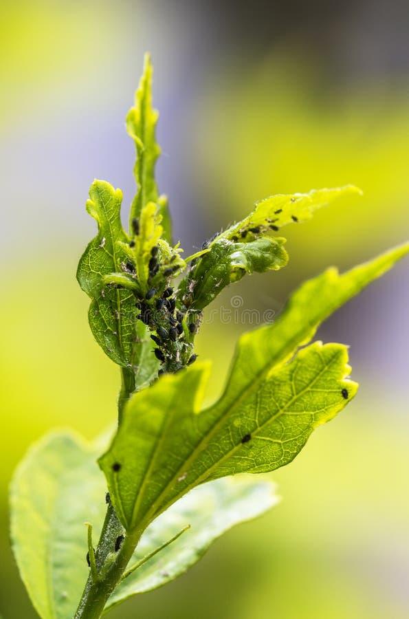 Parassiti, malattie delle piante Primo piano dell'afide su una pianta fotografia stock libera da diritti