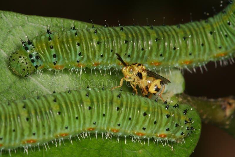parazitic σφήκα στοκ φωτογραφία