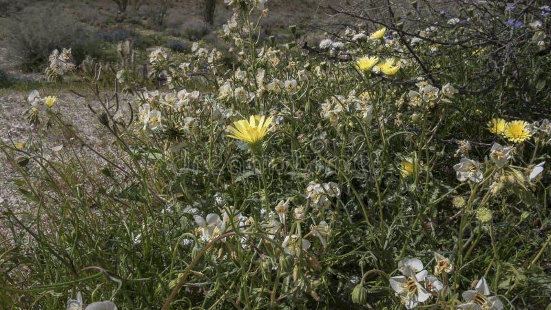 Parc d'état de désert d'Anza-Borrego de fleurs sauvages la Californie images stock