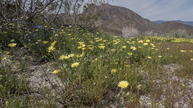 Parc d'état de désert d'Anza-Borrego de fleurs sauvages la Californie photographie stock libre de droits