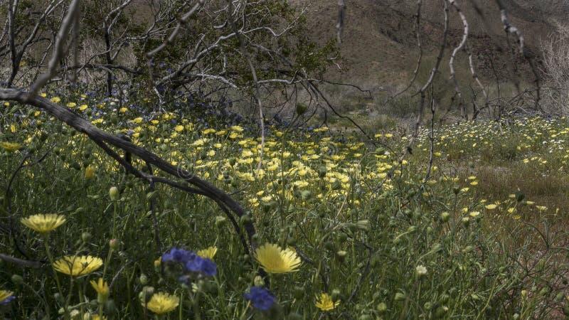 Parc d'état de désert d'Anza-Borrego de fleurs sauvages la Californie photographie stock