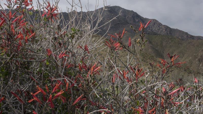 Parc d'état de désert d'Anza-Borrego de fleurs sauvages la Californie image stock