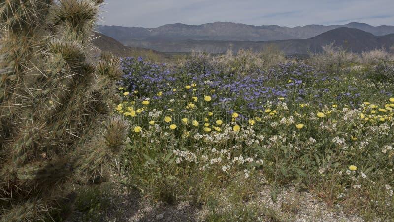 Parc d'état de désert d'Anza-Borrego de fleurs sauvages la Californie image libre de droits