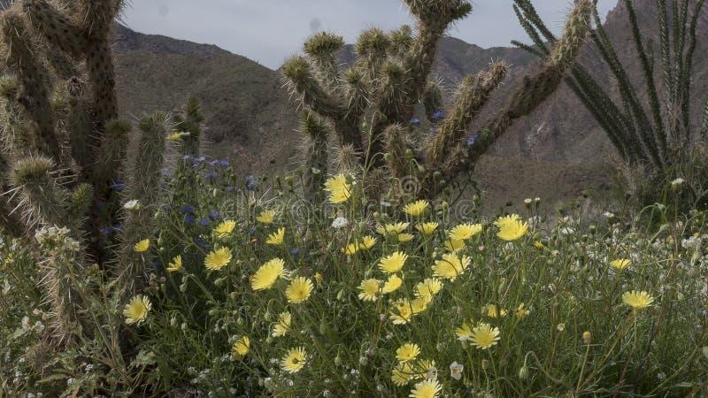 Parc d'état de désert d'Anza-Borrego de fleurs sauvages la Californie photos libres de droits
