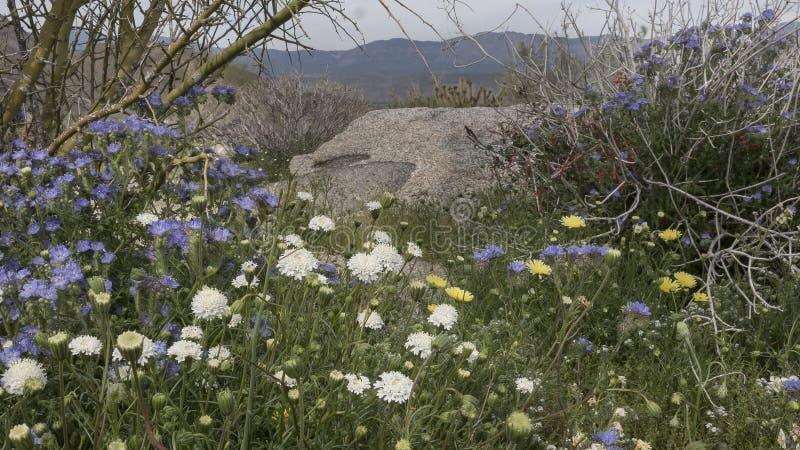 Parc d'état de désert d'Anza-Borrego de fleurs sauvages la Californie photos stock
