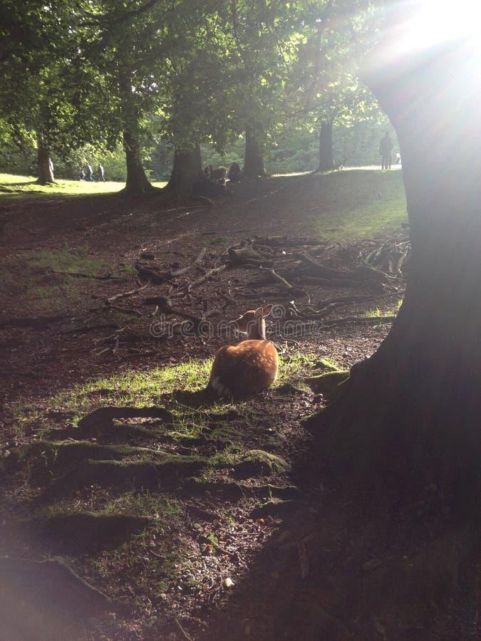 Parc de cerfs communs d'Aarhus photos libres de droits
