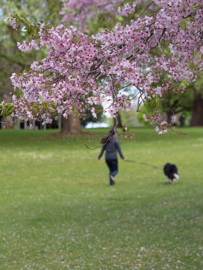 Parc de Cherry Blossom @ les Cornouailles, Auckland, Nouvelle-Zélande images stock