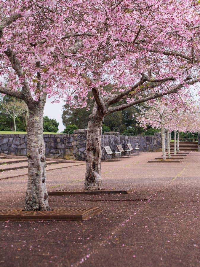 Parc de Cherry Blossom @ les Cornouailles, Auckland, Nouvelle-Zélande photographie stock libre de droits