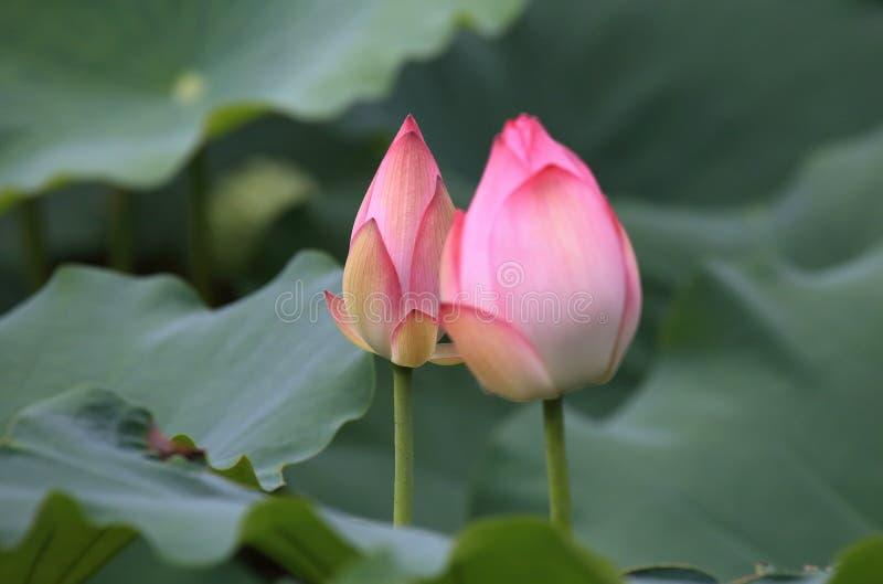 Parc de Lotus en parc de vallée de Shing Mun de Hong Kong photographie stock libre de droits