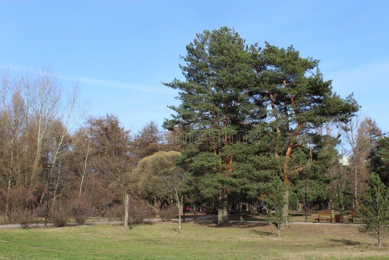 Parc de pin au printemps image libre de droits