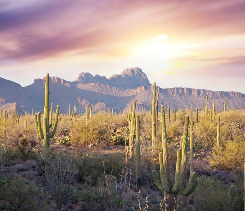 Parc de Saguaro photos stock