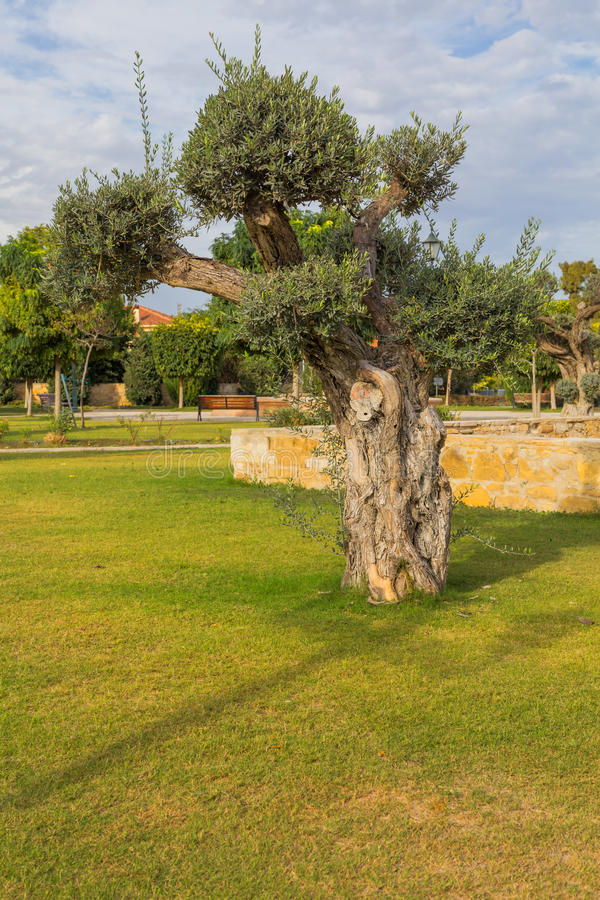 Parc Kiti Larnaca Cyprus de ville d'olivier photo stock