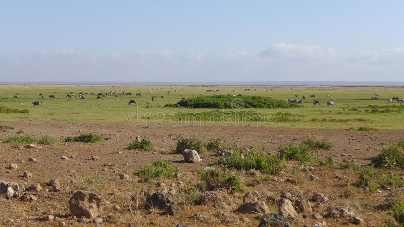 Parc national d'Amboseli, à côté de la TA kilimanjaro photo libre de droits