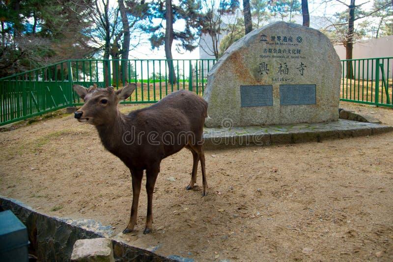 Parc national de cerfs communs dans Kofuku-JI, Nara, Japon Il est populaire au sujet de vous peut alimenter des biscuits de riz a photo stock