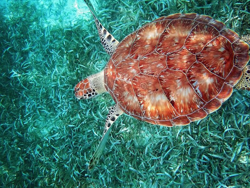 Parc national de HOL Chan dans la plongée à l'air de Belize photo libre de droits