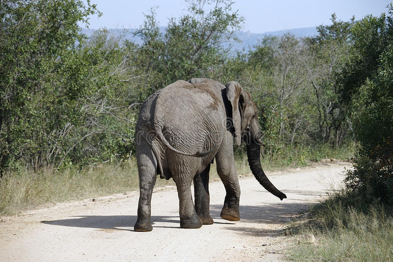 Parc national de Kruger d'éléphant africain photos stock