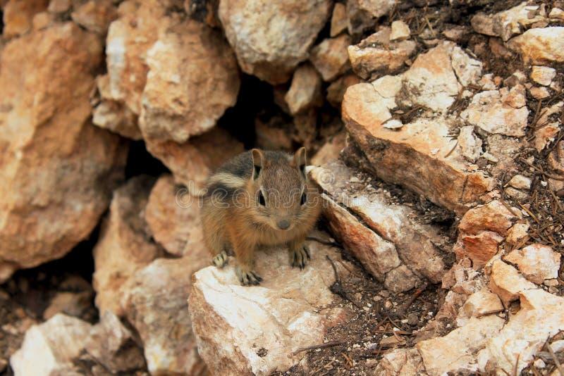 Parc national de l'Uinta Chipmunk, Bryce Canyon photographie stock
