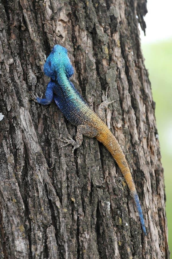 Parc national de Matopos d'agame commun, Zimbabwe images stock
