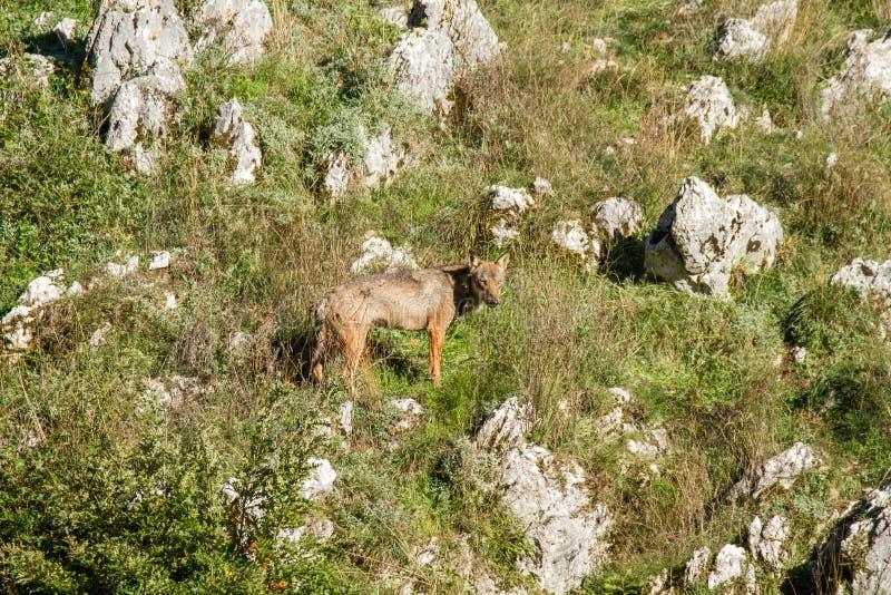 Parc national de prédateur de loup de l'Abruzzo images libres de droits