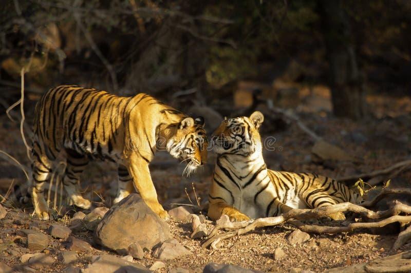 Parc national de Ranthambore, Ràjasthàn, Inde image stock