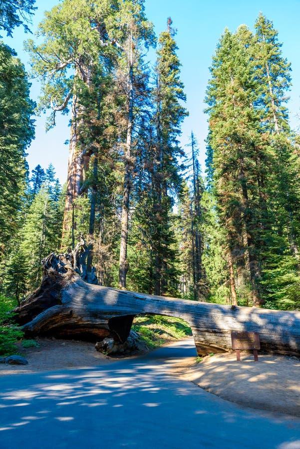 Parc national de s?quoia d'identifiez-vous de tunnel Tunnel 8 pi de haut, 17 pi de large La Californie, Etats-Unis photos libres de droits